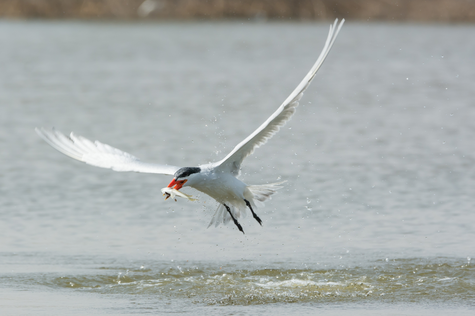 Avian Predators - Caspian Tern eating salmonids - #wetrackthat HTI Acoustic Telemetry