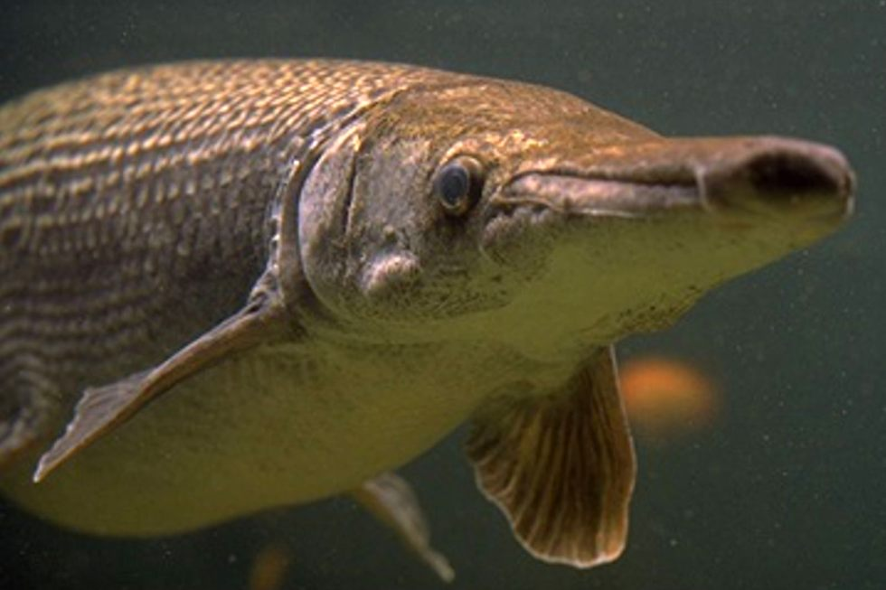 alligator gar - #wetrackthat HTI Acoustic Telemetry