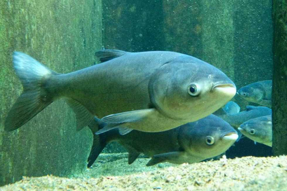 Asian Carp - #wetrackthat HTI Acoustic Telemetry