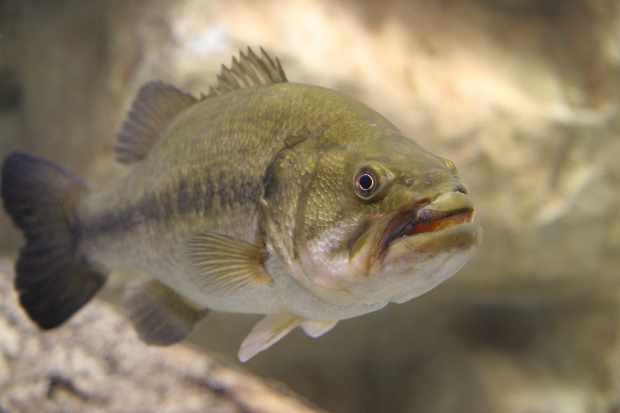 bass - #wetrackthat HTI Acoustic Telemetry
