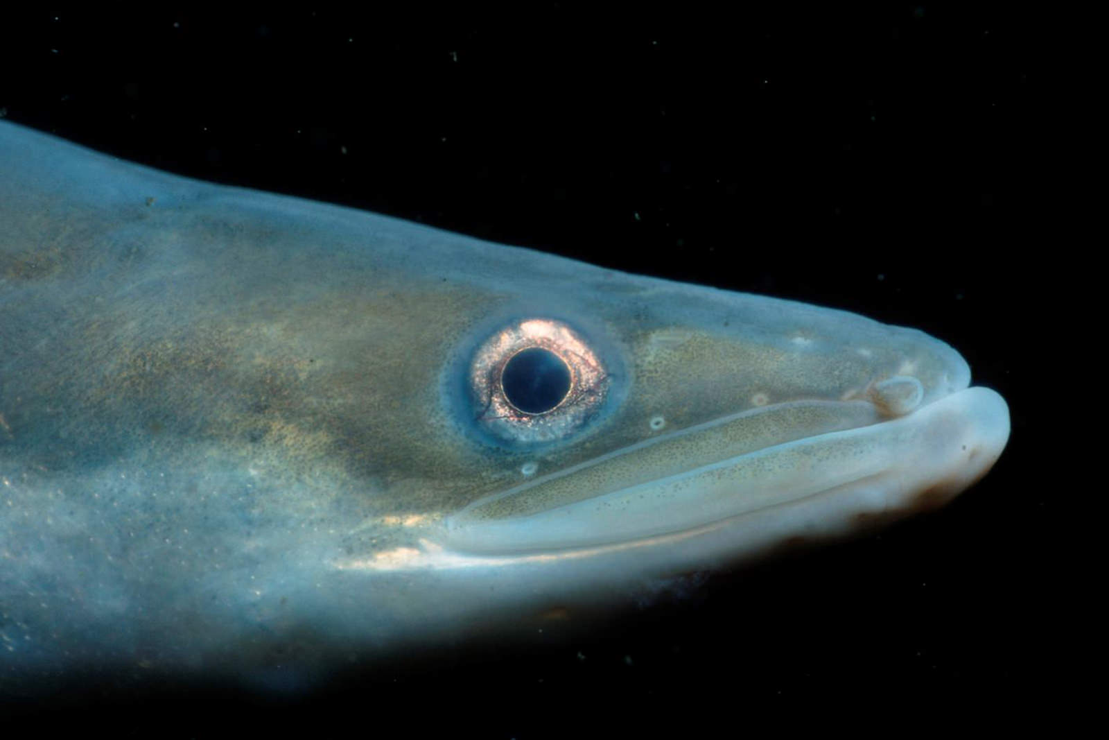 eel - #wetrackthat HTI Acoustic Telemetry